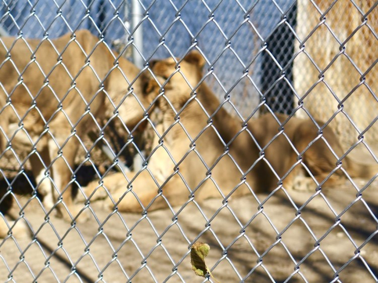 """Kenya & Shiva are the """"Queens of the Jungle"""" and have appeared in such blockbusters as Water for Elephants, Clan of the Cave Bear and Noah's Ark."""