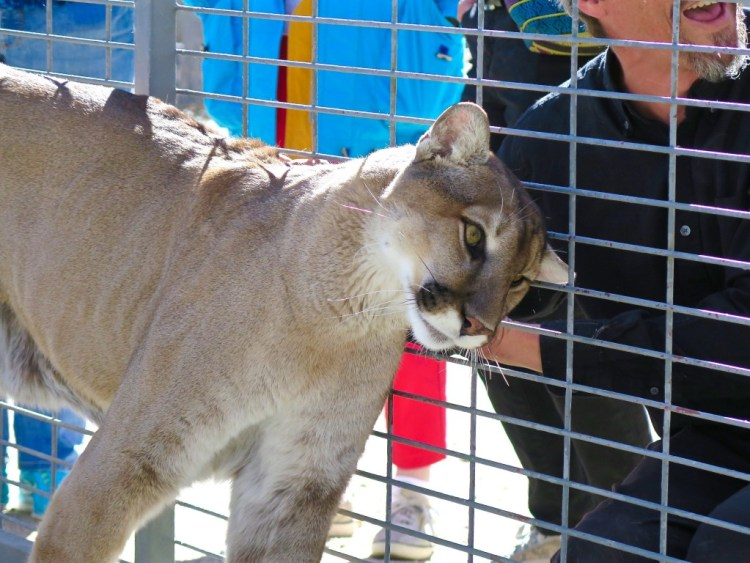 Spirit & Storm (not pictured), are the full grown adult resident cougars at Working Wildlife. Meow!
