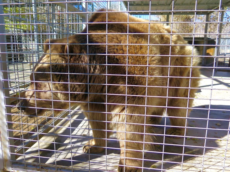 ...he's a Kodiak Brown Bear who could end up weighing 1400-1600lbs and stand between 7'-8' tall when he's fully grown.