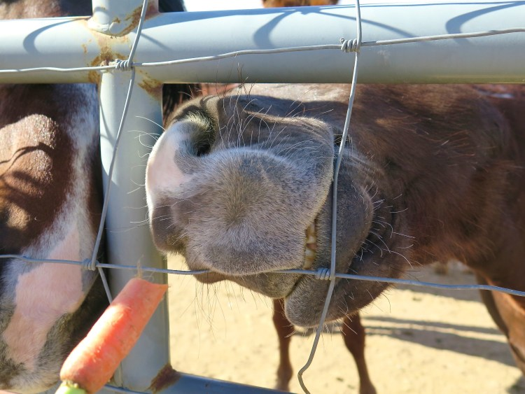 Since the 1970's more than 200,000 horses and burros have been adopted through the program.