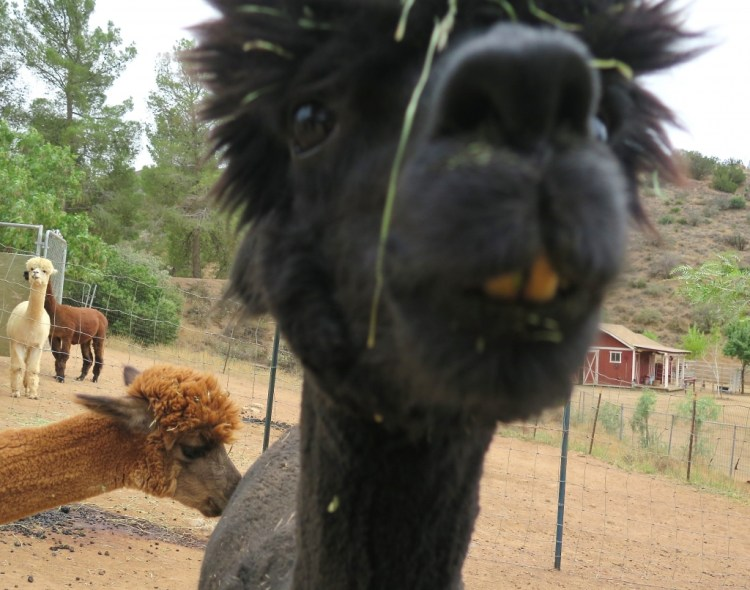Alpacas are sometimes kept as pets, but they are mostly sheared for their fibers.