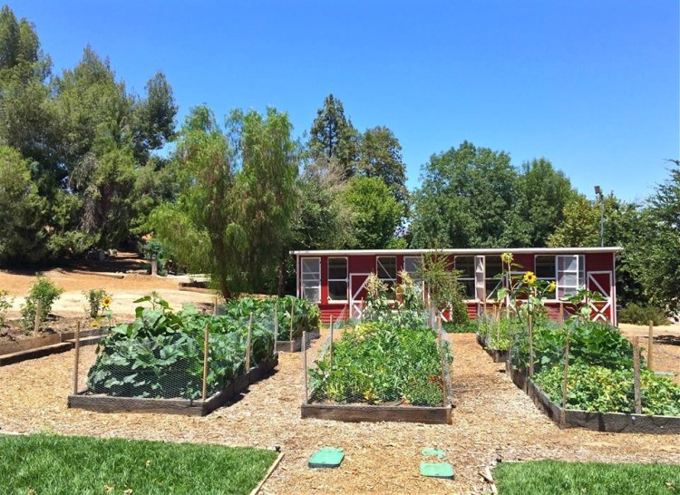 You can find them near the western edge of Pierce College campus, just east of the stables and behind these chicken coops, in a stand of trees west of the parking lot on the north side of El Rancho Drive.