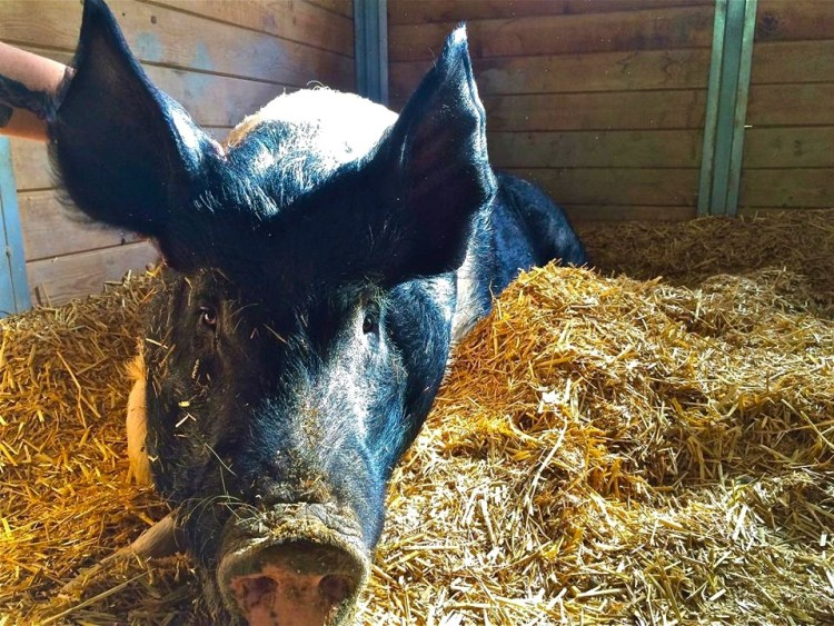 """Zeus was born at a county fair and when it closed he was going to be sent to slaughter along with all the other animals there. He was saved instead and brought home to The Gentle Barn. Zeus is kind to visitors and gentle with the other pigs and we shower him with tummy rubs and love."""
