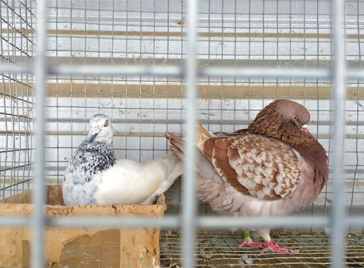 Fancy pigeons are domesticated varieties of the rock pigeon.