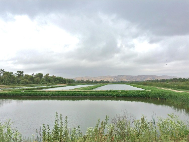 Modified from a series of duck hunting ponds located adjacent to the Santa Ana River in 1992, the Prado Constructed Wetlands (PCW) is a system of treatment ponds designed to remove nitrate and emphasize the characteristics of natural wetland ecosystems.