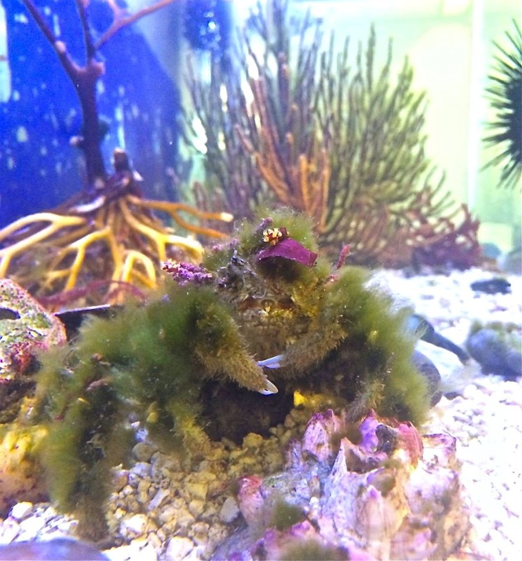 They keep an aquarium in the office with some of the creatures they've found after trawling. This Decorator Crab [the mossy mess] was my fave. He was giving me side eye.