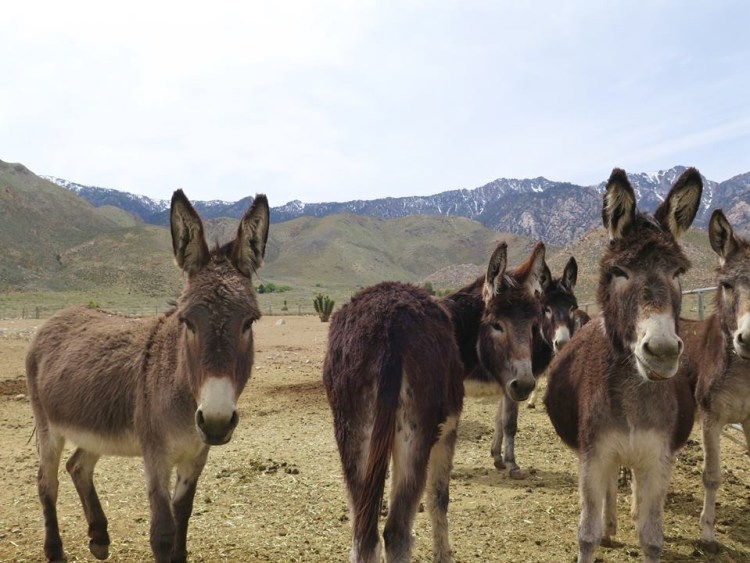 Sure, it's true that wild burros are generally more friendlier to humans than horses are...