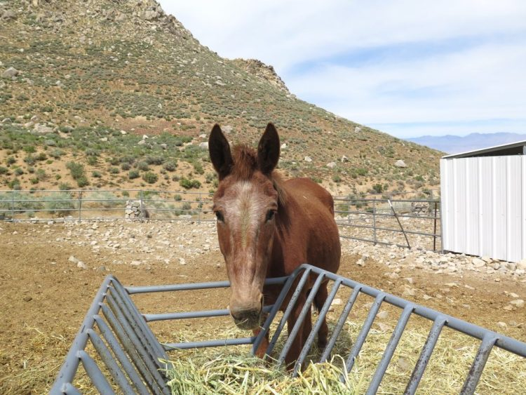 mules...