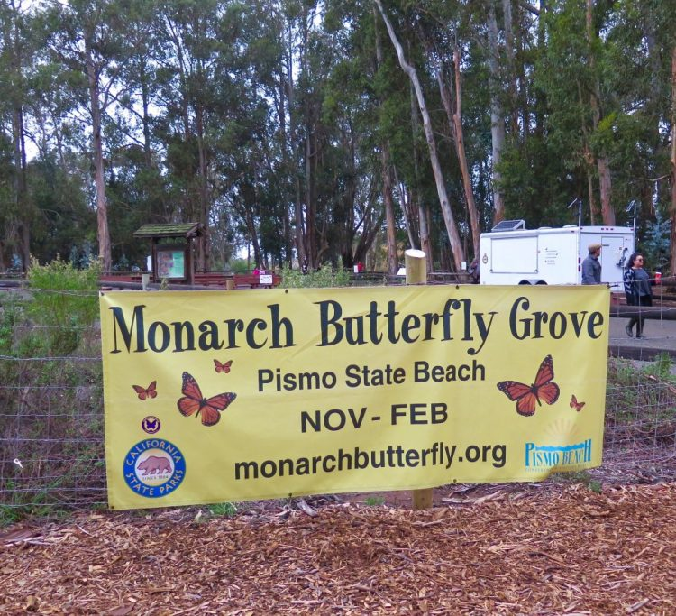 The monarchs start arriving at the grove in late October and spend the winter there before leaving in February.