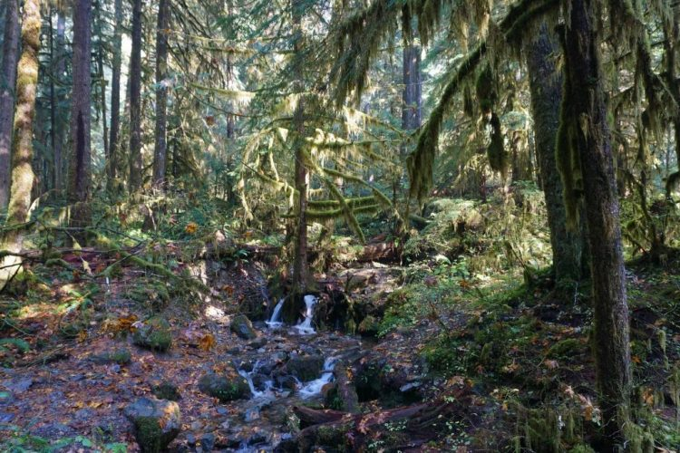 The valley forms the largest intact stand of old growth forest in the western Cascades, and 500- to 1000-year-old trees are common. The most abundant trees are Douglas fir, Pacific silver fir, and western hemlock. Common hardwoods include bigleaf maple and red alder.