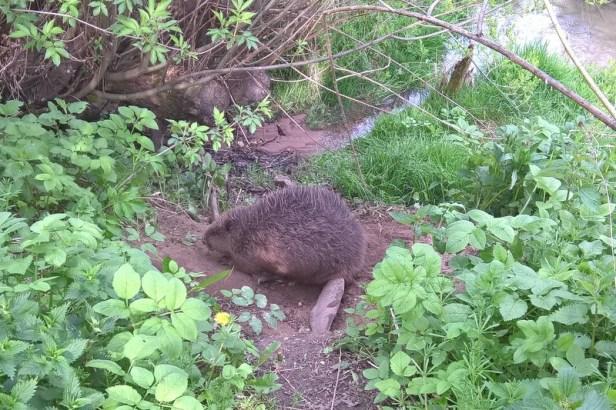 Uwalnianie bobra (2)