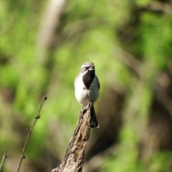 CApped Sparrow