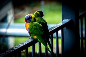 Wet Days & Lorikeets