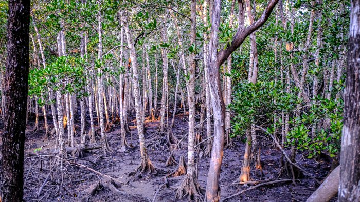 Just behind the shoreline there is a forest of mangroves that get wet feet just twice a day with the coming of the tide. It is easy to imagine that hiding in the depths are crocodiles that live this far north