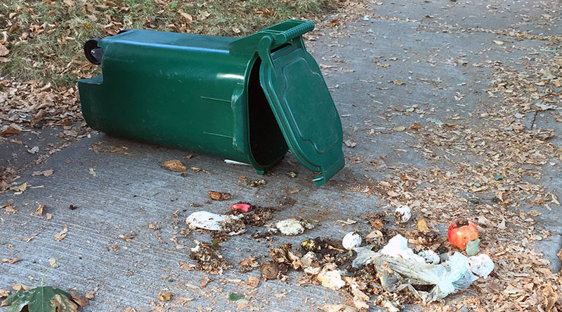 Green bin spilled by raccoons