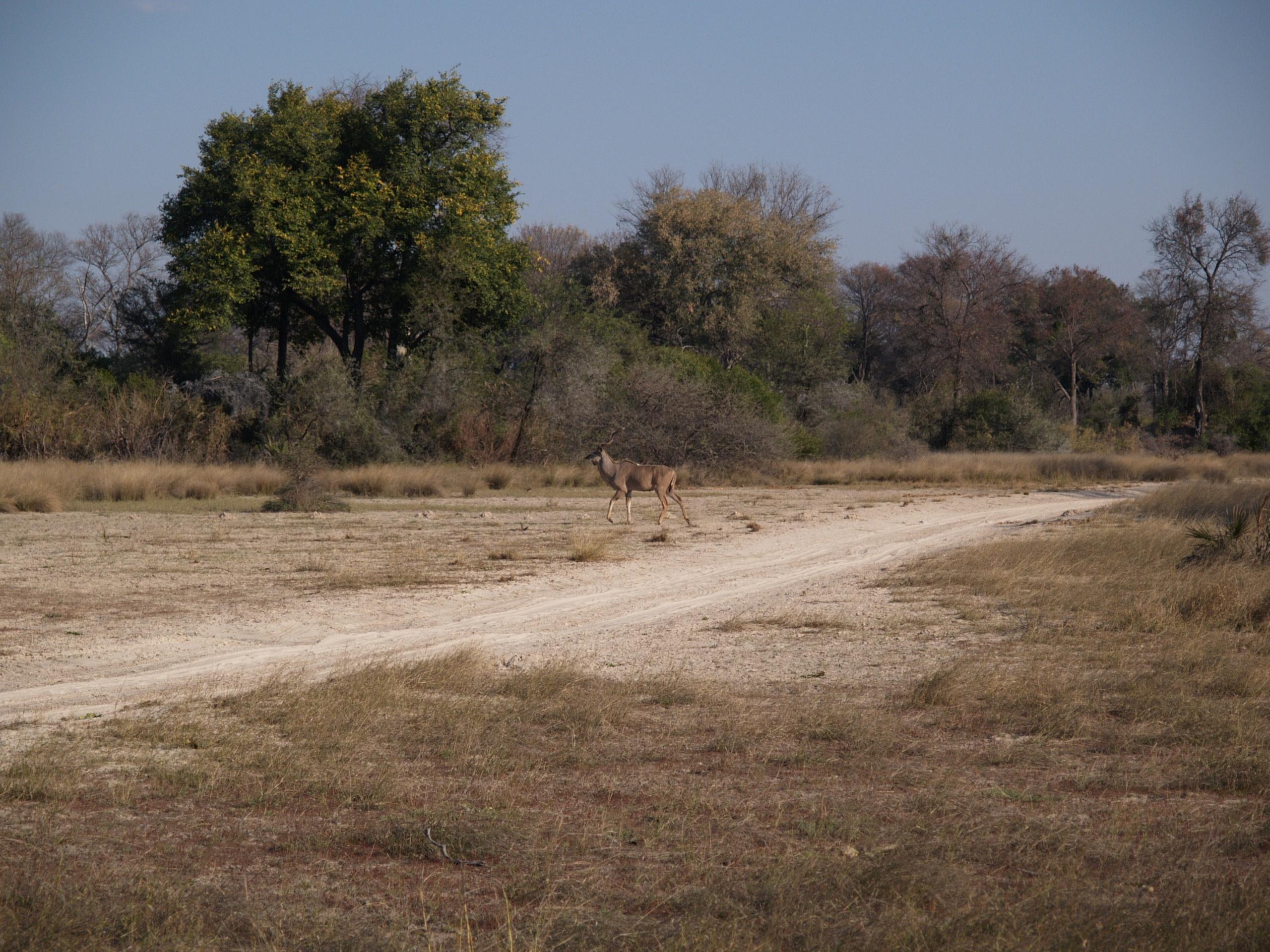 Antelope Tubu Tree