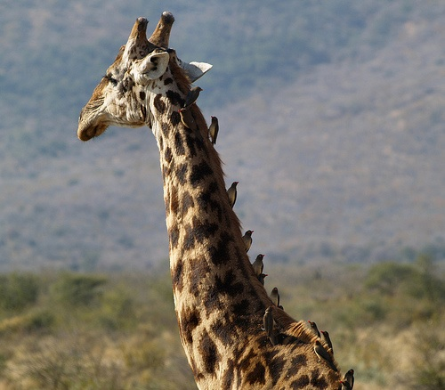 giraffe with tick birds