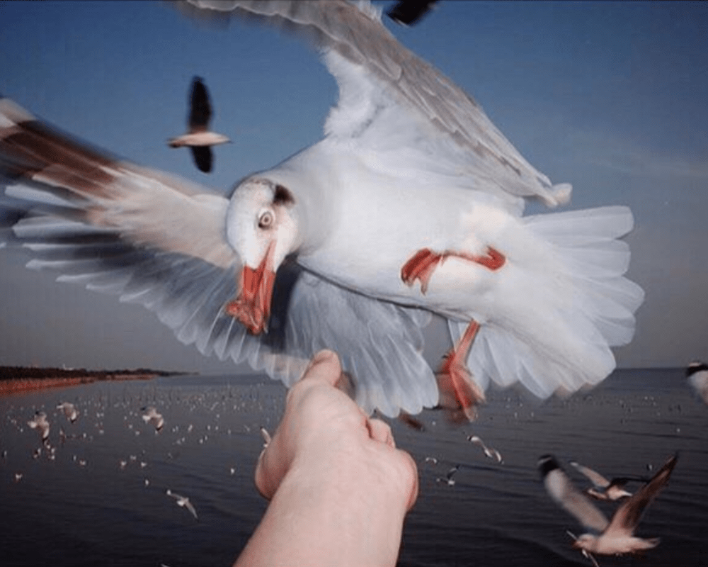 Hungry Seagull: What makes photographers approach this bird in a similar way?