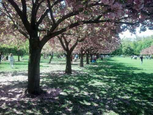 Cherry Blossoms - Brooklyn Botanical Garden