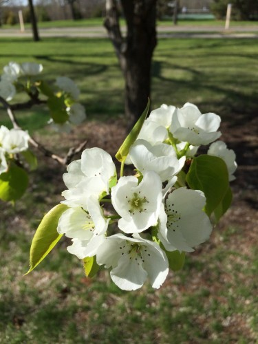 Trees in bloom near Lake Nokomis