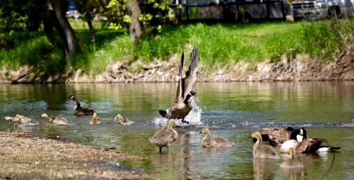 Photo of Canada geese in river