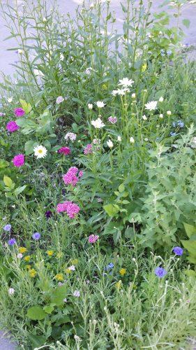 A Boulevard Garden (Rain Garden?) in the 2600 Block of Benjamin Street