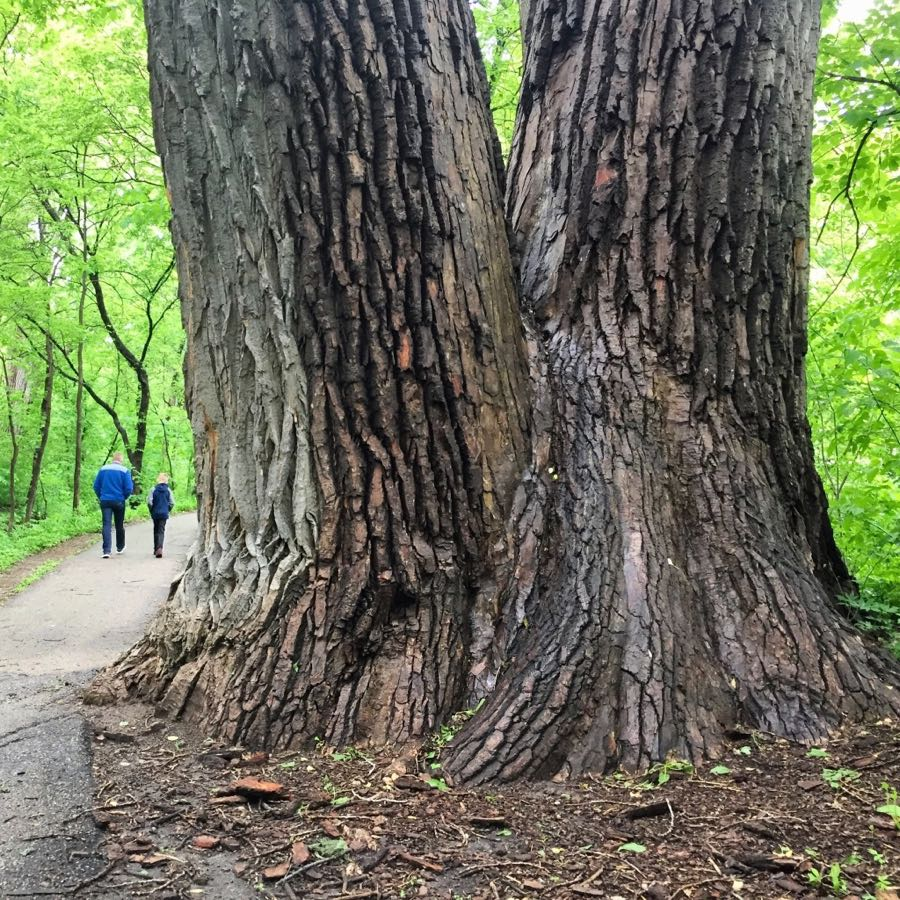 Giant tree at W 49th Street & Minnehaha Parkway