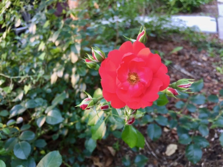 Rose bloom and buds