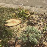 Boulevard Tree Stump