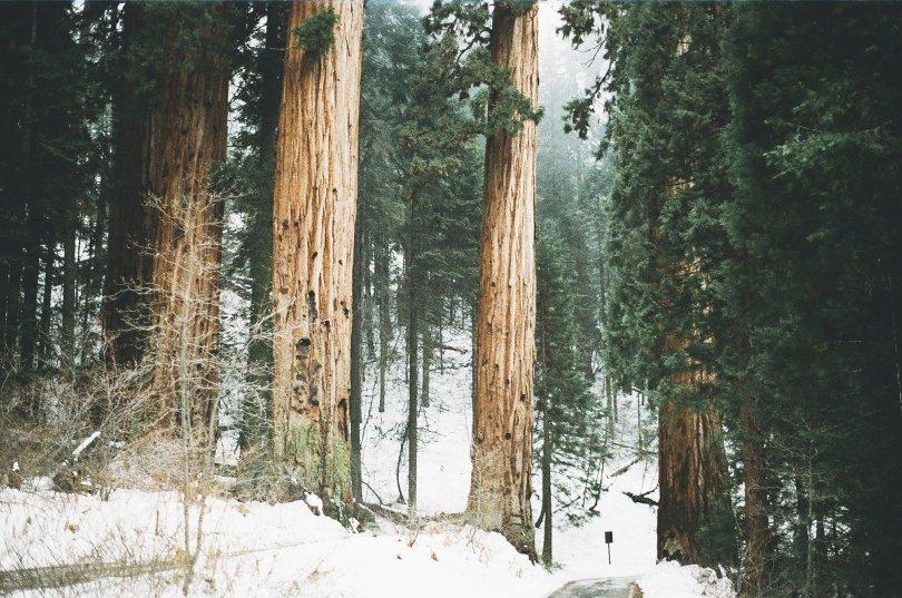 redwoods-405889_1920