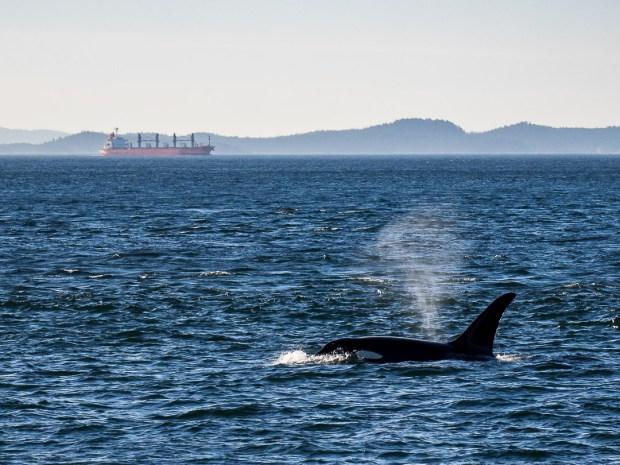 Orca Whale  Haro Strait  2018