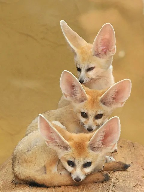Fennec Foxes Tower by Joachim S. Muller