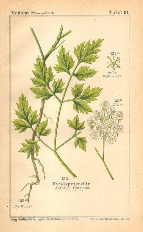 Fools Parsley 1893