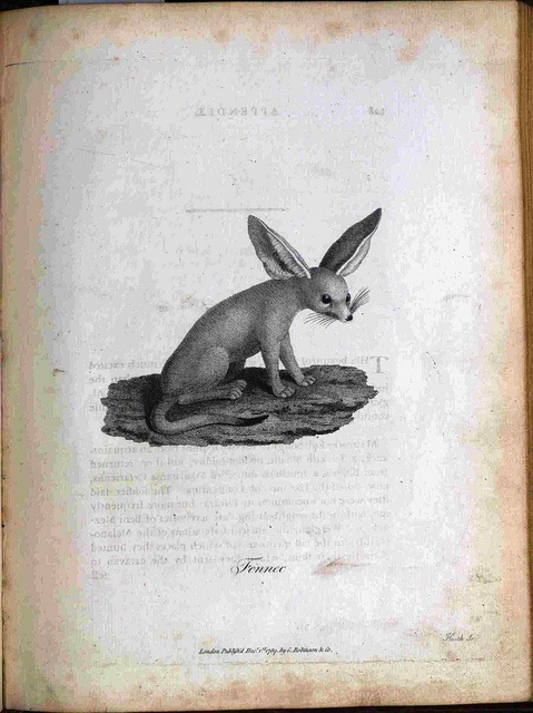 Fennec from James Bruce Select Speciments of Natural History Collected in Travels to Discover the Source of the Nile