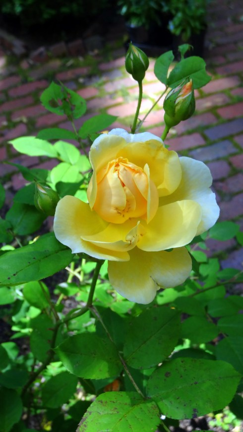 Yellow roses 021