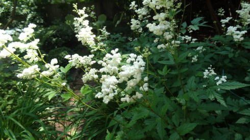 Summer Meadowsweet