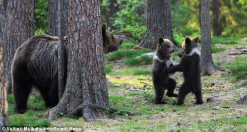 Bears in Finland 2