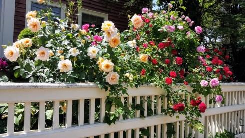 June Roses 1