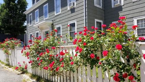 June Roses 4