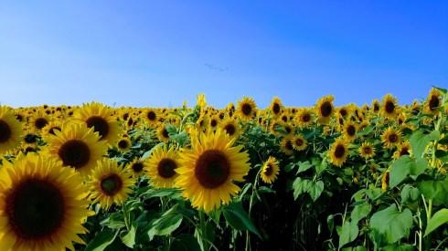Bee Sunflowers Best