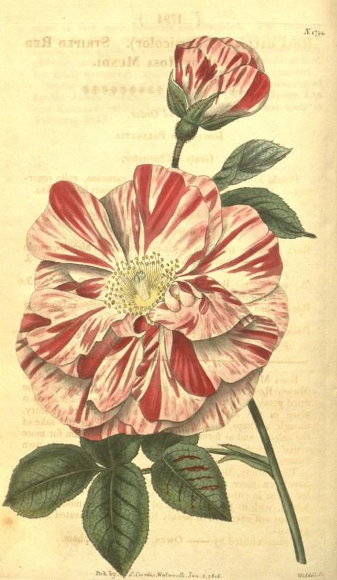 Rosa Mundi Cutis Botanical Magazine