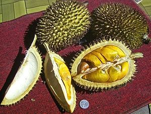Durio kutejensis fruit, Muara Lawa, Kutai Bara...