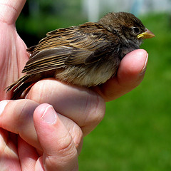 Bird in Hand » House Sparrow III