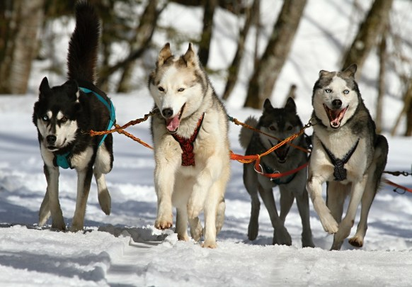 Huskies- Street Talk Savvy- Man's best friend- The domestication of the dog