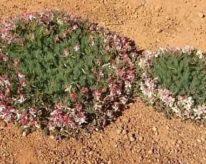 Wreath Lechaultia- Street Talk Savvy- Western Australian wildflower season