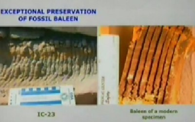 Baleen - Whale - Fossilized
