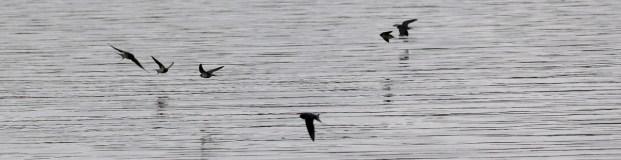 Rauchschwalben über dem See