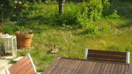 Wildgarten mit chillender Ente