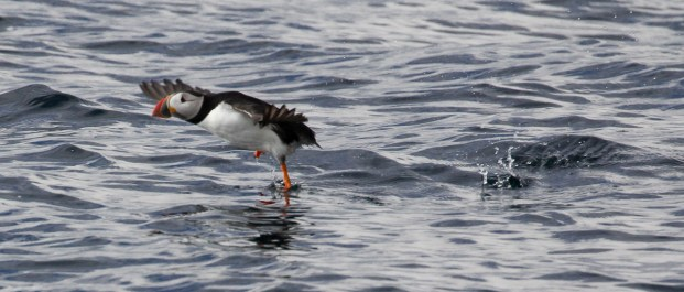 puffin action