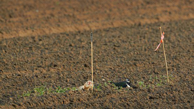 Kiebitz auf dem Nest im abgesteckten Feld